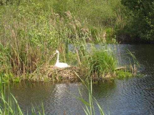 Swan on nest